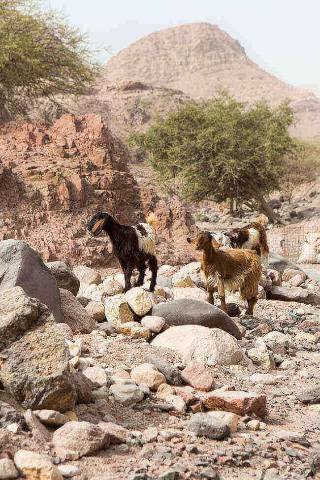 Geitjes in de woestijn | insimonesk.wpengine.com