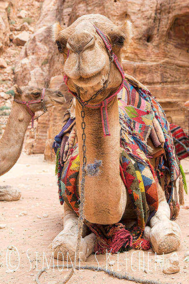 Kameel in Petra | insimonesk.wpengine.com
