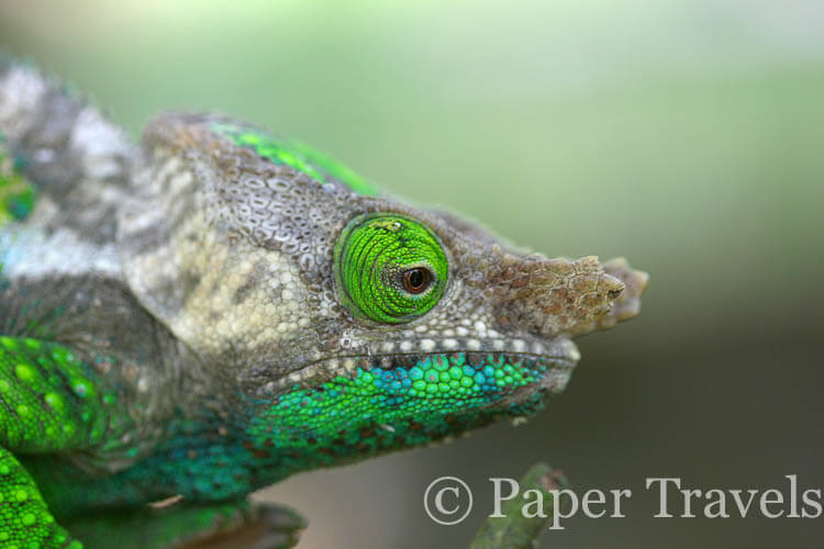 Chameleons of Madagascar